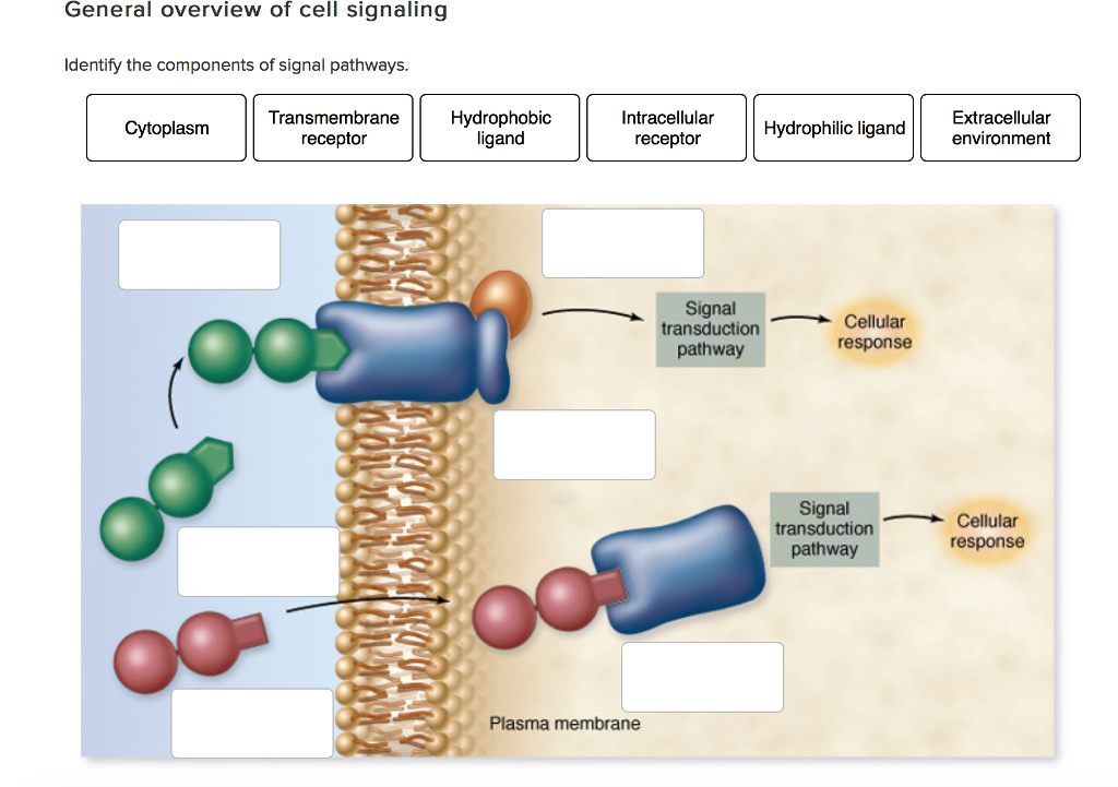 Solved identify the components of signal pathways chegg general overview of cell signaling identify the components of signal pathways transmembrane hydrophobic intracellular extracellular ccuart Image collections