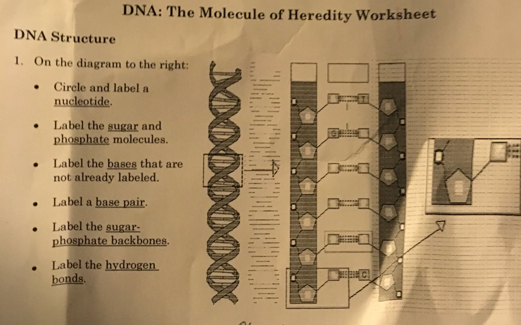 DNA Structure On The Diagram To The Right: Circle ... | Chegg.com