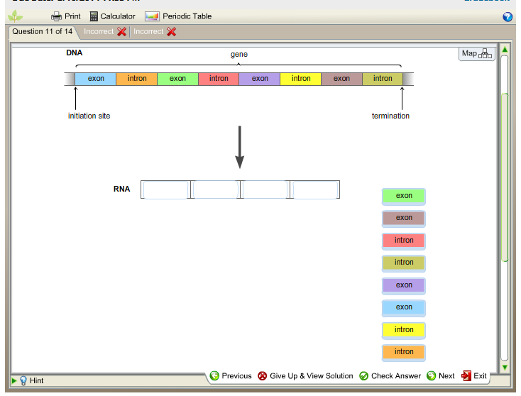 questions and answers on dna and mrna A dna sequence is shown below the sequence is a small part of a gene that codes for a protein transcribe the dna to produce the mrna copy by placing the correct bases into position to make the mrna transcript.
