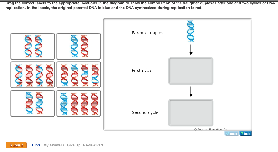 Solved i am new with this please help dna replication is please help dna replication ccuart Choice Image