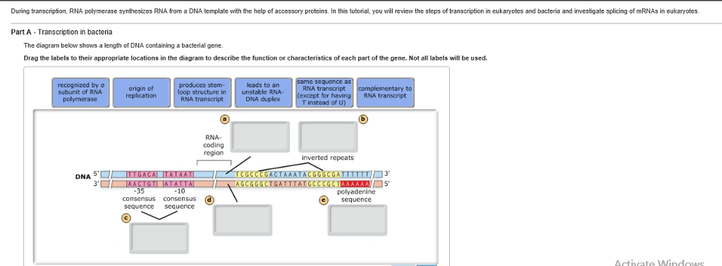 Solved during transcription rna polymerase synthesizes r during transcription rna polymerase synthesizes rna from a dna template with the help of accessory ccuart Gallery