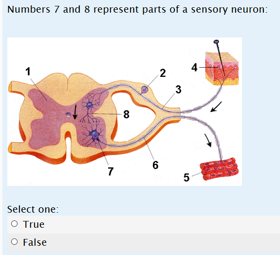 Solved numbers 7 and 8 represent parts of a sensory neuro numbers 7 and 8 represent parts of a sensory neuron select one o true o false ccuart Image collections