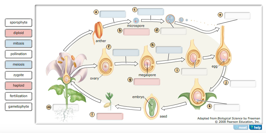 Alternation Of Generations In Angiosperms The Diag... | Chegg.com