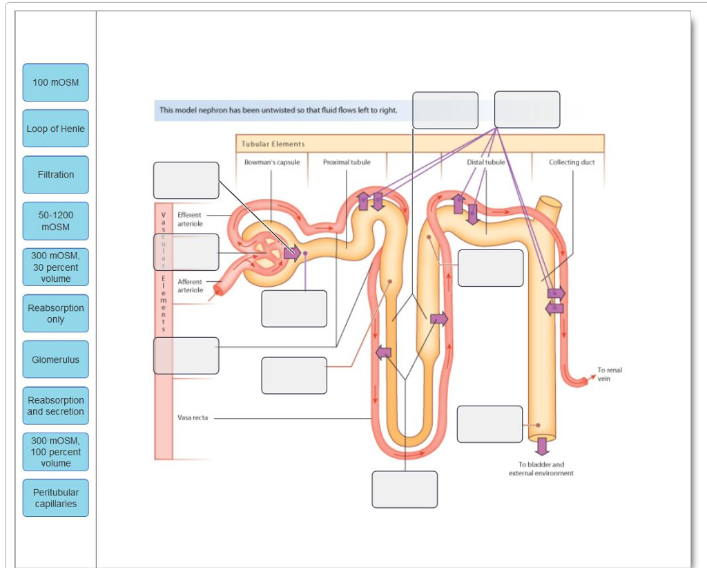 Solved drag the labels onto the diagram to identify the s 100 mosm this model nephron has been untwisted so that fluid flows left to right ccuart Choice Image