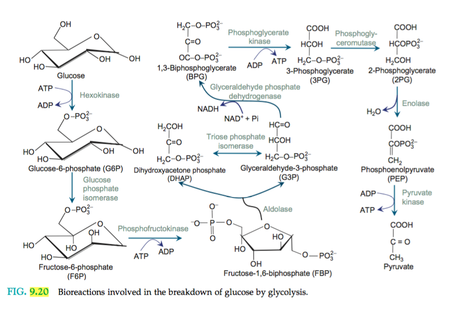 Solved: Glycolysis Is A Process Where One Glucose Molecule ... H2coh