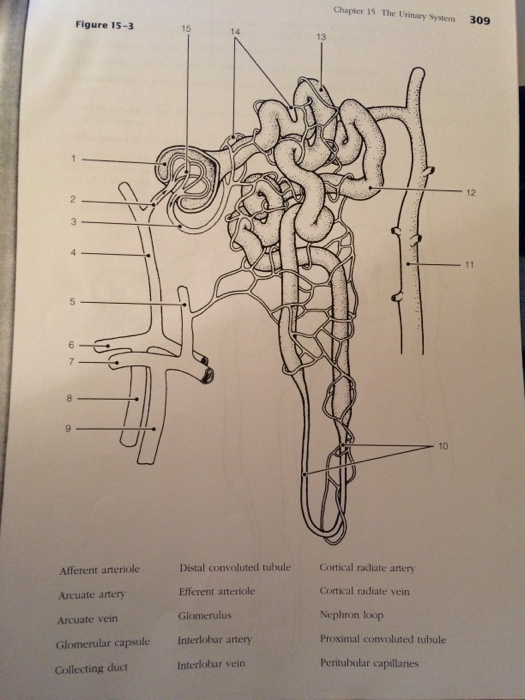 Solved chapter 15 the urinary system 309 figure 15 3 14 a chapter 15 the urinary system 309 figure 15 3 14 a ccuart Image collections