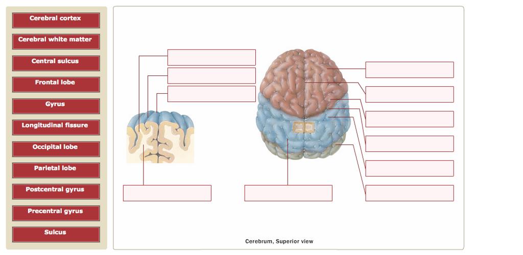 Fein Anatomy Of The Cerebral Cortex Zeitgenössisch - Menschliche ...