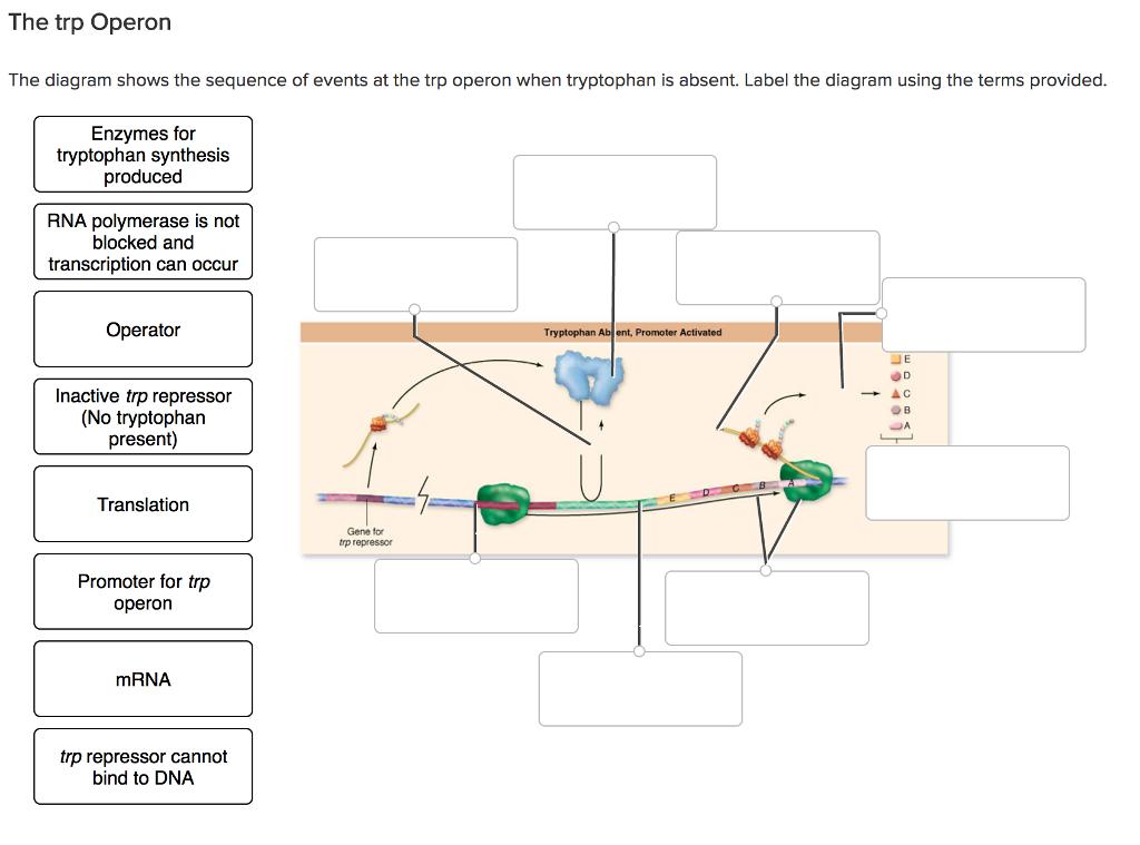 The Trp Operon The Diagram Shows The Sequence Of E... | Chegg.com