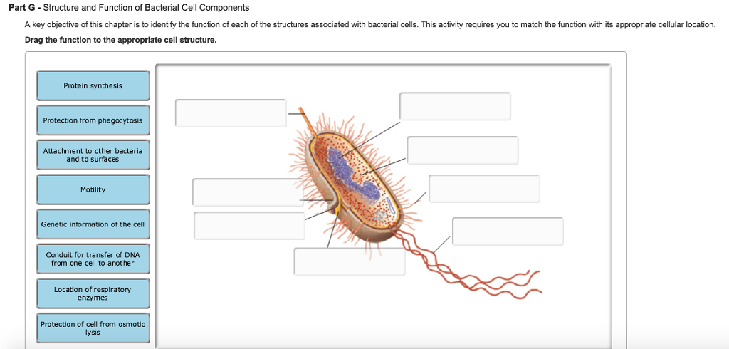 A key objective of this chapter is to identify the chegg part g structure and function of bacterial cell components a key objective of this chapter is ccuart Choice Image