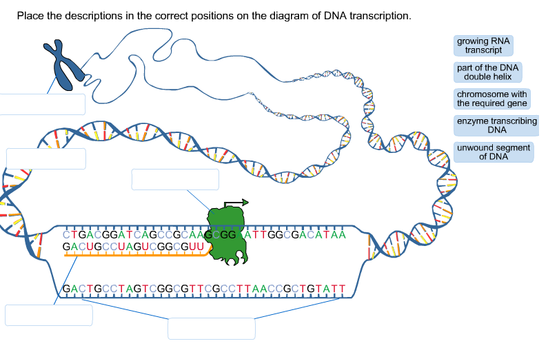 Diagram of dna transcription wiring source solved place the descriptions in the correct positions on rh chegg com dna transcription steps venn diagram of dna replication and transcription ccuart Images