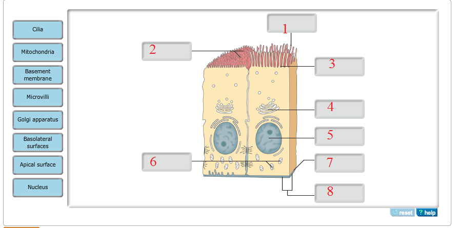 Solved identify the structures in epithelial cells cilia question identify the structures in epithelial cells cilia mitochondria basement membrane microvilli golgi ccuart Gallery