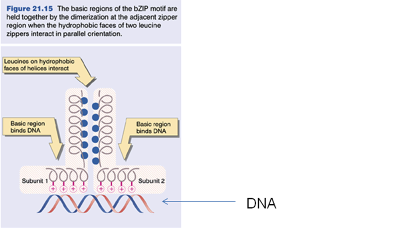 Solved you have cloned the gene for a transcription facto figure 2115 the basic regions of the bzip motif are held together by the dimerization at ccuart Gallery