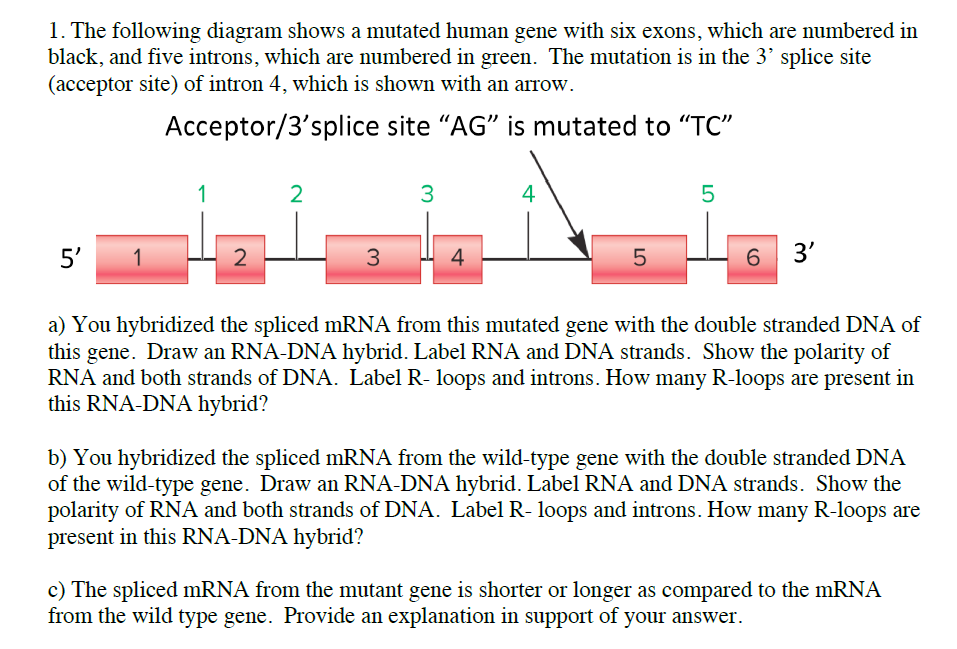 Solved 1 the following diagram shows a mutated human gen the following diagram shows a mutated human gene with six exons which are ccuart Gallery