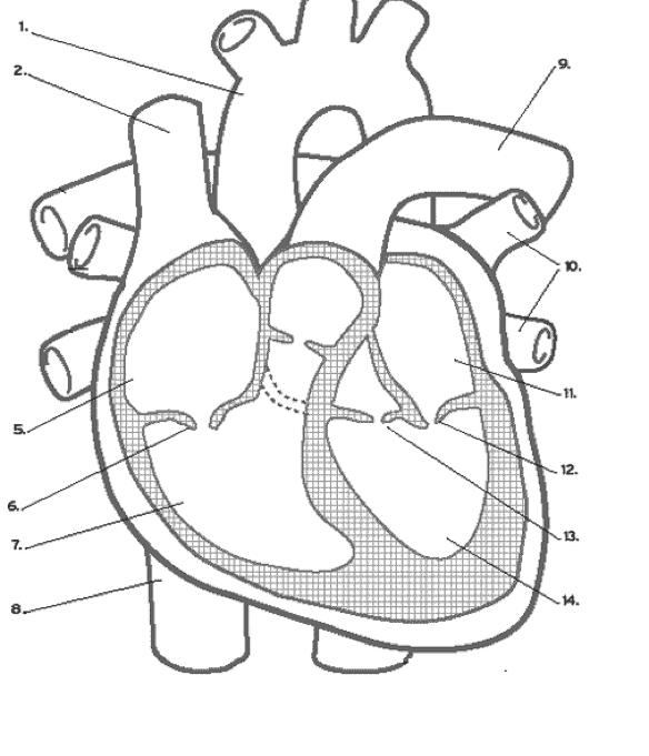 Blank Heart Diagram Blood Flow Find Wiring Diagram