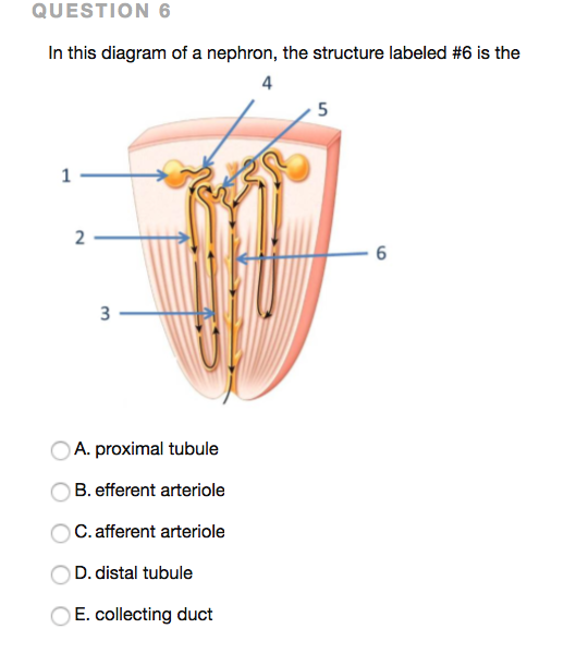 Solved question 6 in this diagram of a nephron the struc question 6 in this diagram of a nephron the structure labeled 6 is the ccuart Image collections