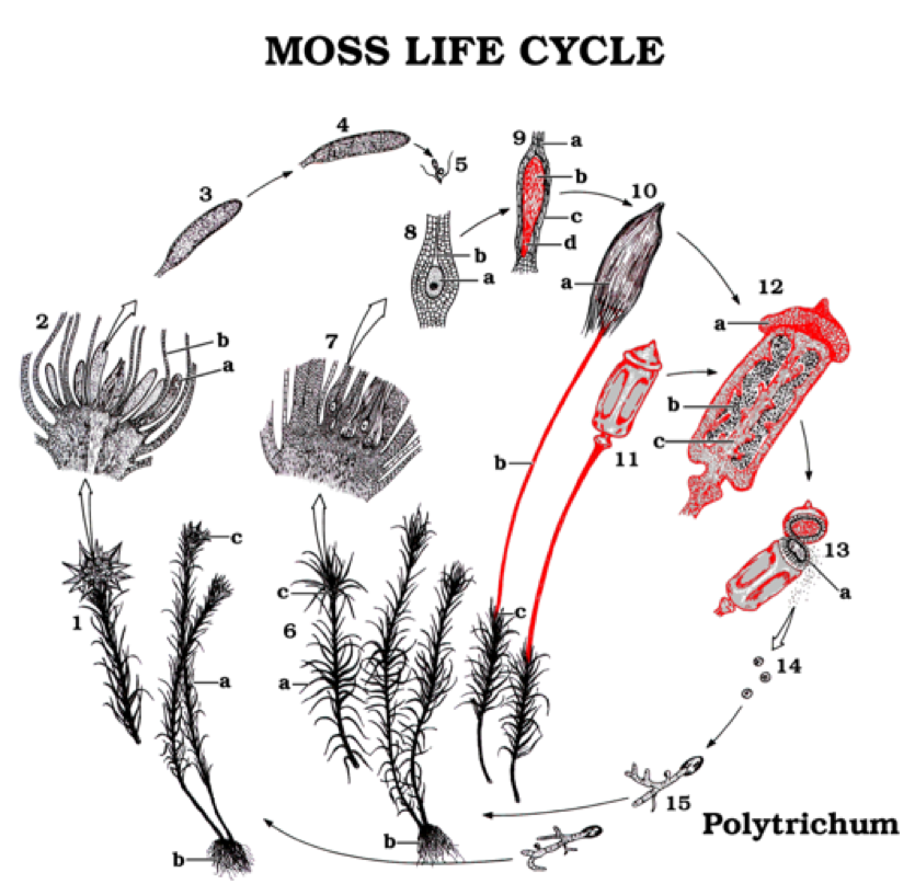 Life Cycle Of A Labeled Moss Diagram: Solved: Which Figure Best Depicts The Moss Sporangium