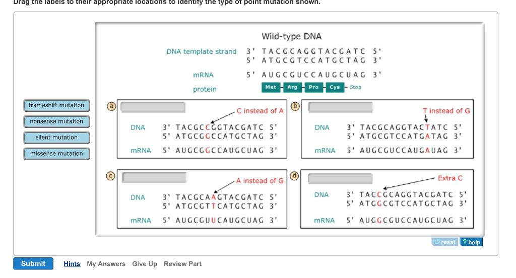 Point Mutations DNA Polymerase Is Very Accurate An... | Chegg.com