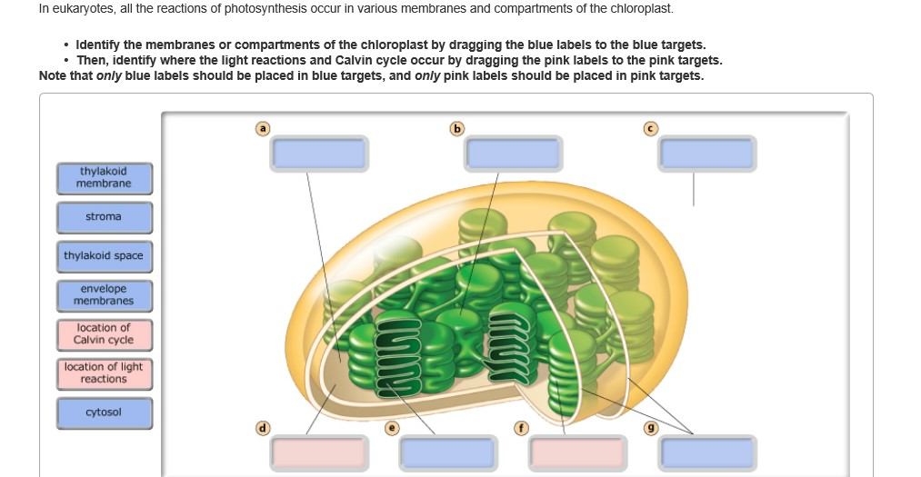 Solved in eukaryotes all the reactions of photosynthesis expert answer ccuart Choice Image