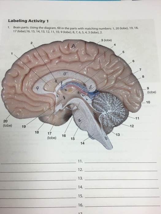 Solved brain parts using the diagram fill the parts wit brain parts using the diagram fill the parts wit ccuart Images