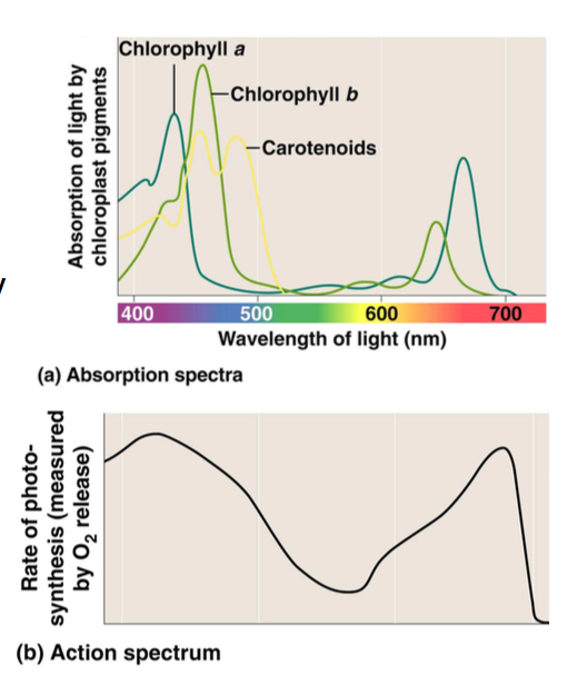 Chlorophyll and carotenoids absorption spectrum