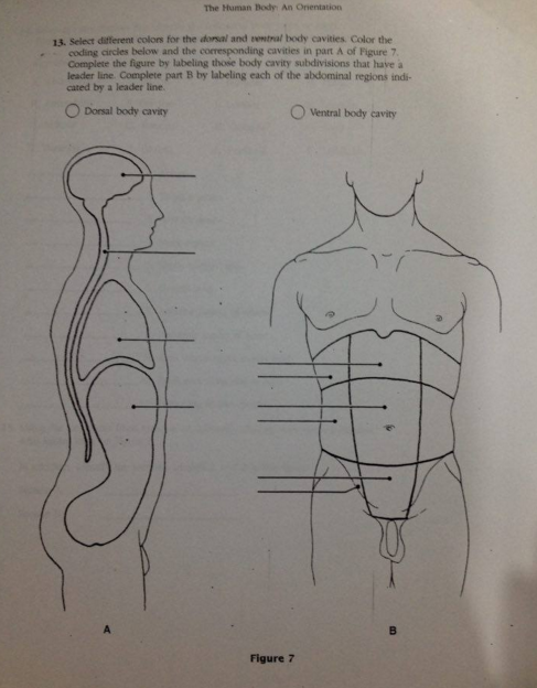 abdomen and ventral body cavity essay Abdominopelvic ventral which body cavity would have to be opened for  the following types of surgeries or procedures 5 stomach ulcer.