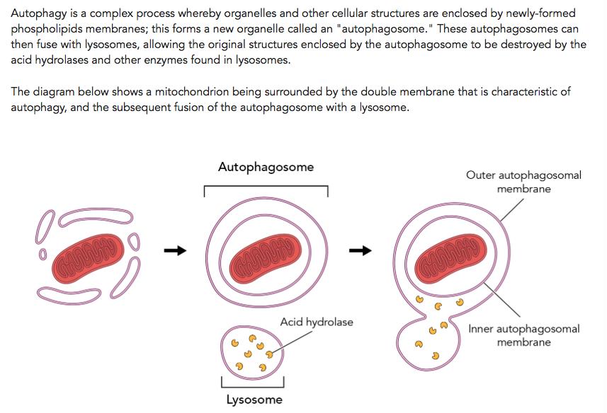 Lysosomes Diagram 11956 Usbdata