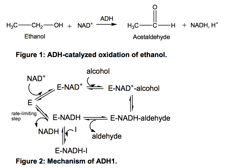 alcohol dehydrogenase adh reaction Alcohol dehydrogenase: structure and function  the alcohol (as substrate) with adh this binding of enzyme and substrate is facilitated with coordination to zinc .