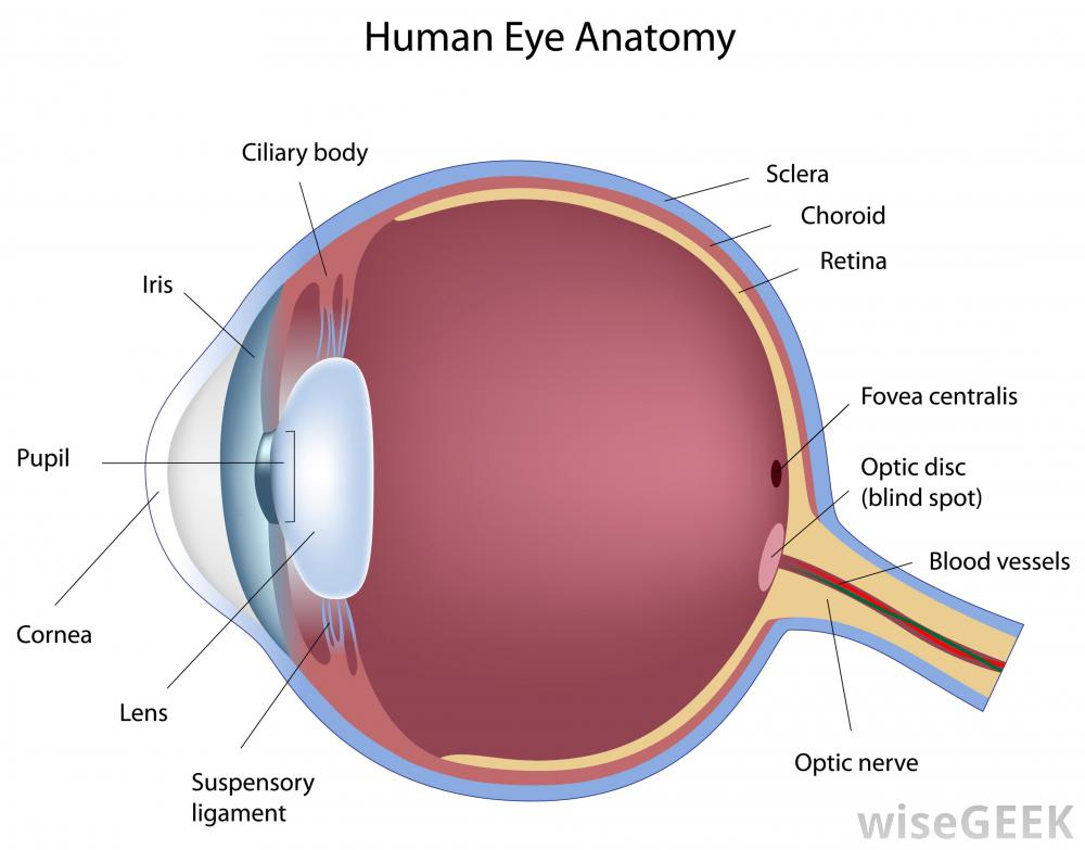 Solved like a camera the human eye focuses light to prod human eye anatomy ciliary body sclera choroid retina iris fovea centralis pupil optic disc blind as the light rays ccuart Gallery