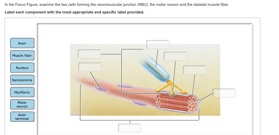 Neuromuscular Junction Labeled Quiz – Neuron and Neuromuscular Junction Worksheet