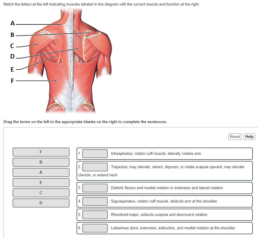Ungewöhnlich Blank Muskel Diagramm Ideen - Menschliche Anatomie ...