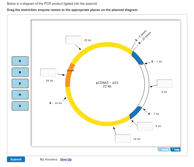 Below Is A Diagram Of The PCR Product Ligated Into... | Chegg.com