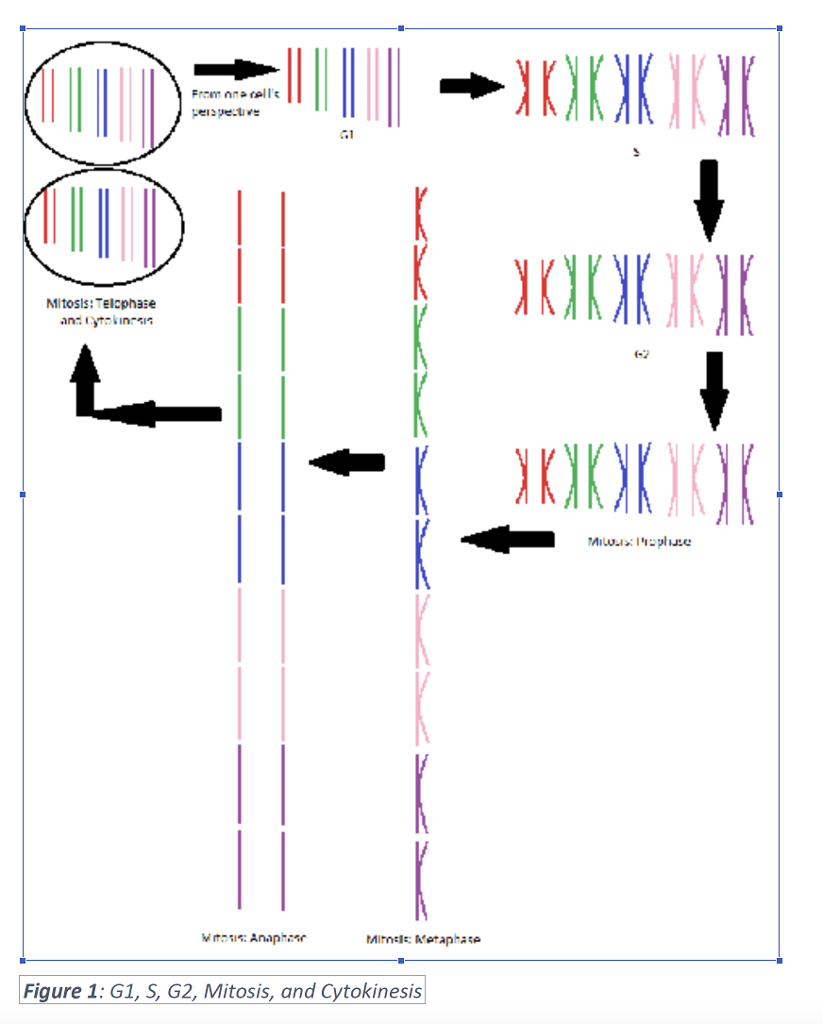 Solved meiosis flow chart 2n10 not mitosis make a fl from one cell g1 6 2 figure 1 g1 s g2 geenschuldenfo Images