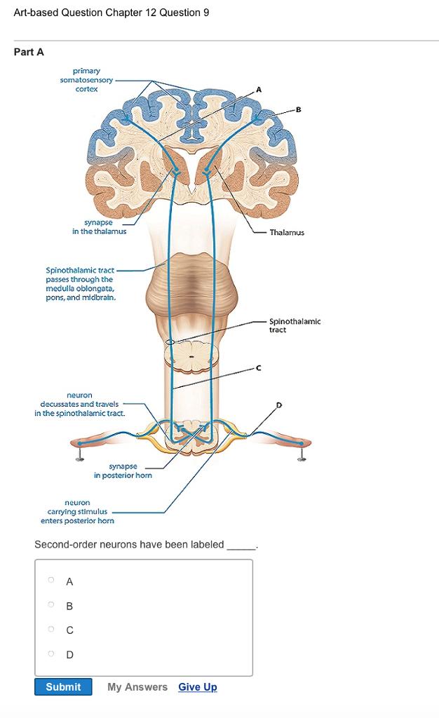 Fein Huhn Hirnanatomie Bilder - Anatomie Ideen - finotti.info