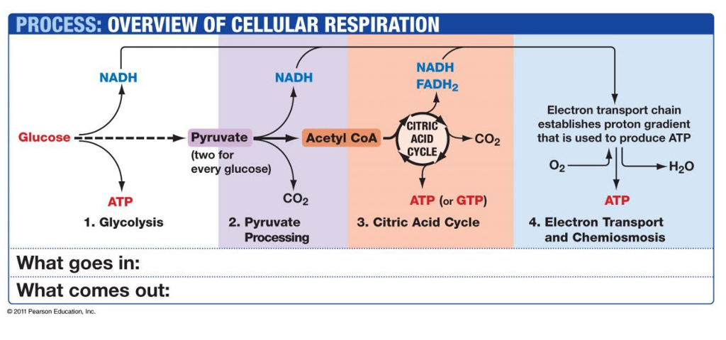 Solved using this illustration in which covers the major process overview of cellular respiration nadh fadh2 nadh nadh citri acid cycle electron transport chain ccuart Image collections