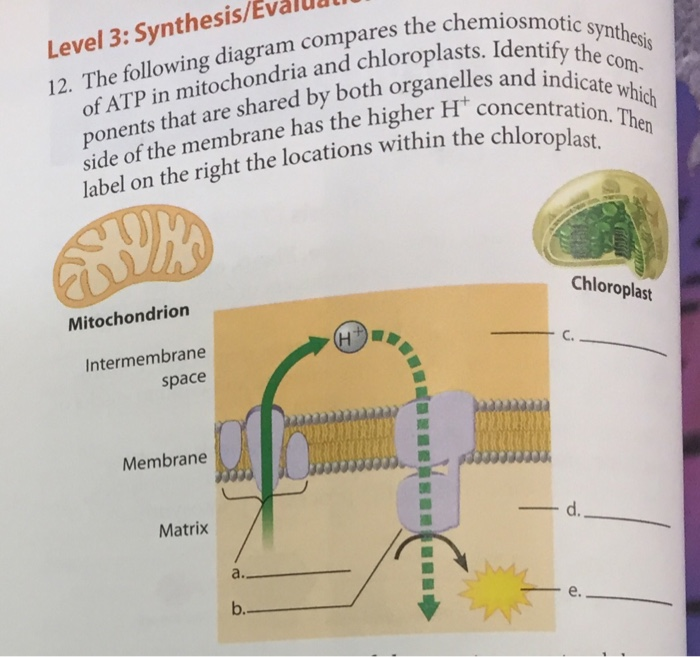 The following diagram compares the chemiosmotic sy chegg question the following diagram compares the chemiosmotic synthesis of atp in mitochondria and chloroplasts ccuart Choice Image