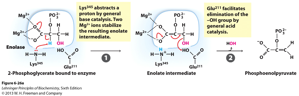 Lys345 abstracts a proton by general base catalysis. Two Mg2+ ions  stabilize the resulting enolate