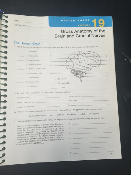 Gross anatomy of the brain and cranial nerves exercise 14