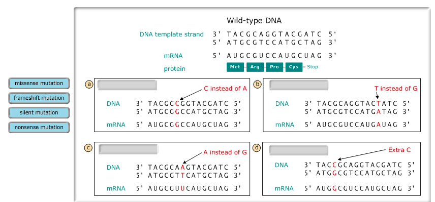 What Is Template Strand   Wild Type Dna Dna Template Strand 3 Tac G Ca G G Chegg Com
