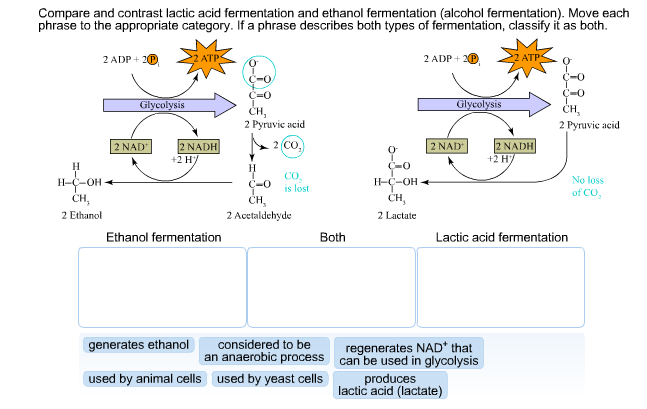 Solved: Compare And Contrast Lactic Acid Fernentation And ...