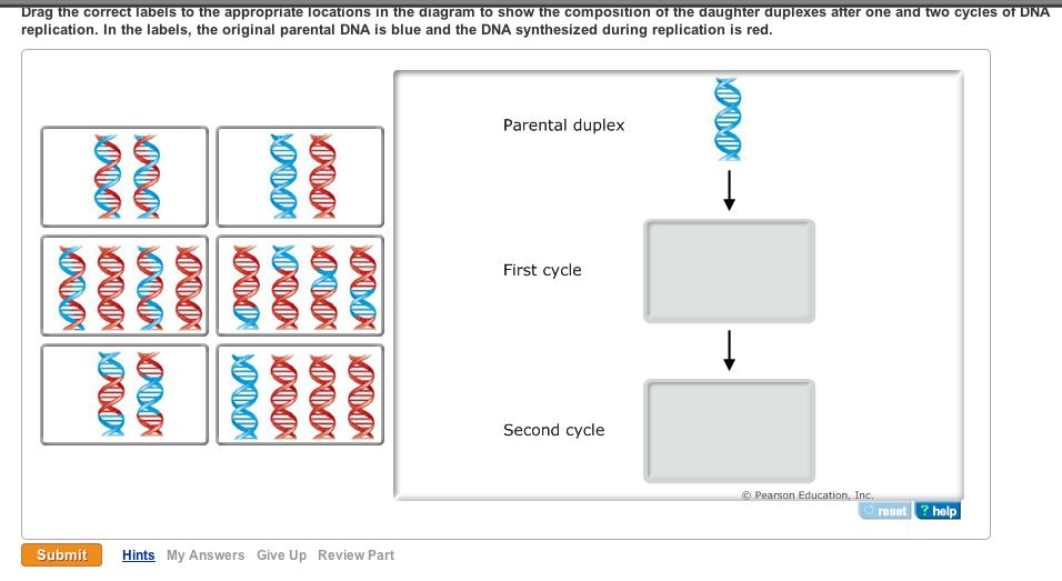 DNA structure help please?