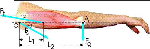 The arm in the figure below weighs 35.3 N. The fo