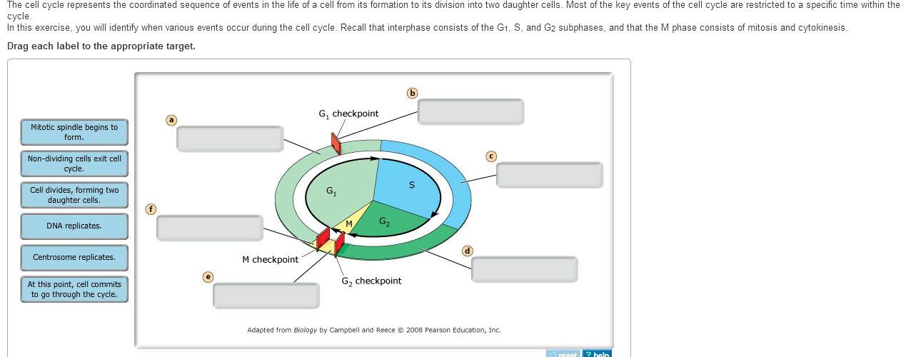 The Cell Cycle Represents The Coordinated Sequence