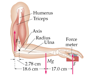 To determine the force a person's triceps muscle c