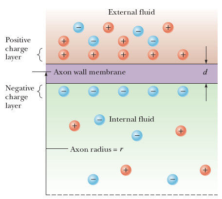 Assume a length of axon membrane of about 0.10 m i