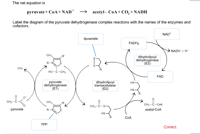 Oxidative decarboxylation of Pyruvate In aerobic organisms glucose and other sugars fatty acids and most amino acids are degraded to the Acetyl group of AcetylCoA the form in which the citric acid cycle accepts most of its fuel input The oxidative decarboxylation of Pyruvate to form AcetylCoA is the link between Glycolysis and the Citric