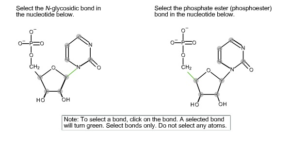 Select the N-glycosidic bond in the nucleotide bel