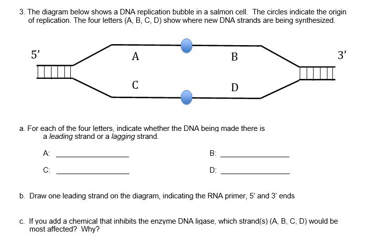 The Diagram Below Shows A DNA Replication Bubble I ...