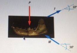 Image for A zoologist estimates that the jaw of a predator, Martes, is subjected to a force P as large as 800 N. What fo