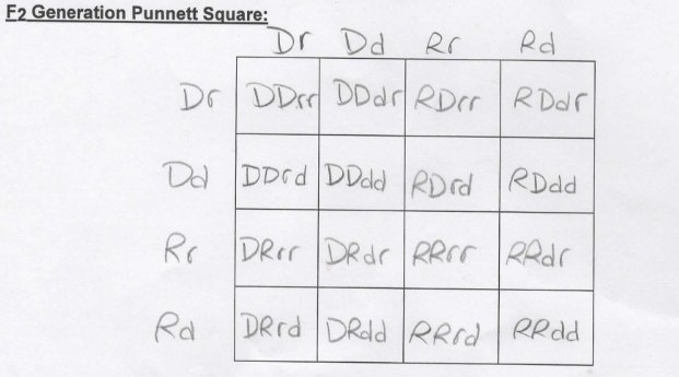 F2 Generation Punnett Square: