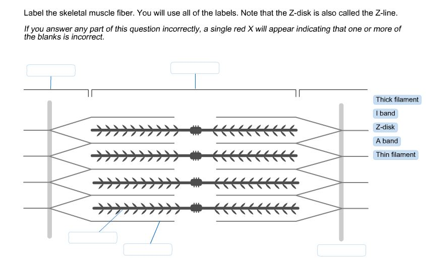 solved label the skeletal muscle fiber you will use all. Black Bedroom Furniture Sets. Home Design Ideas